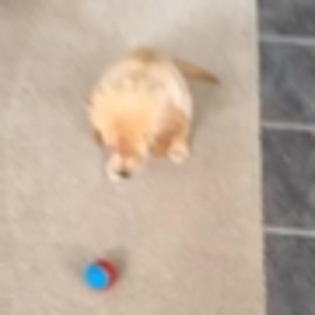 puppy tries to play fetch with snowball jukin media