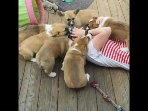 Puppy Slides Down Hardwood Floors Jukin Media Inc