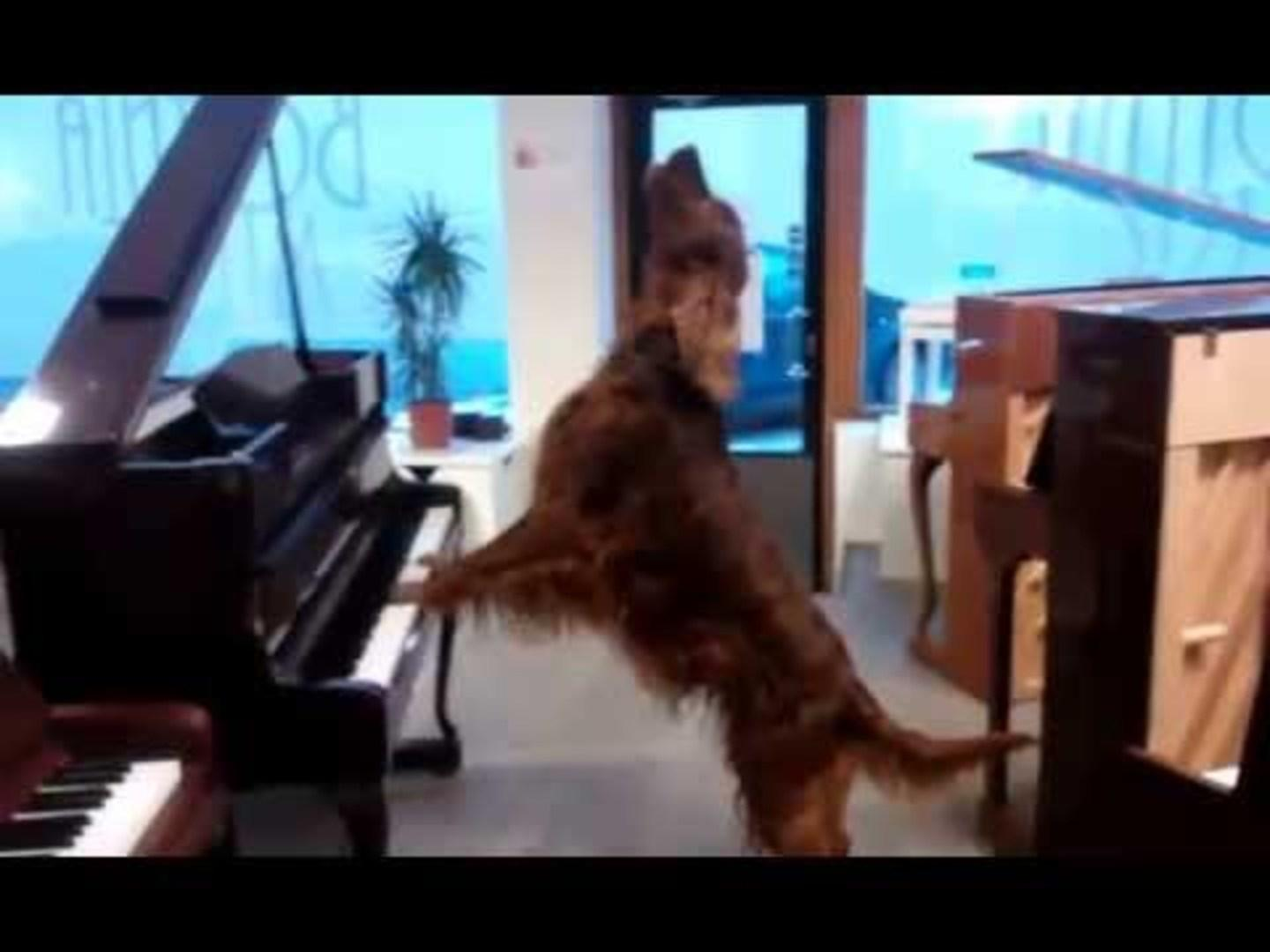 Irish Setter Plays Piano and Sings | Jukin Media Inc