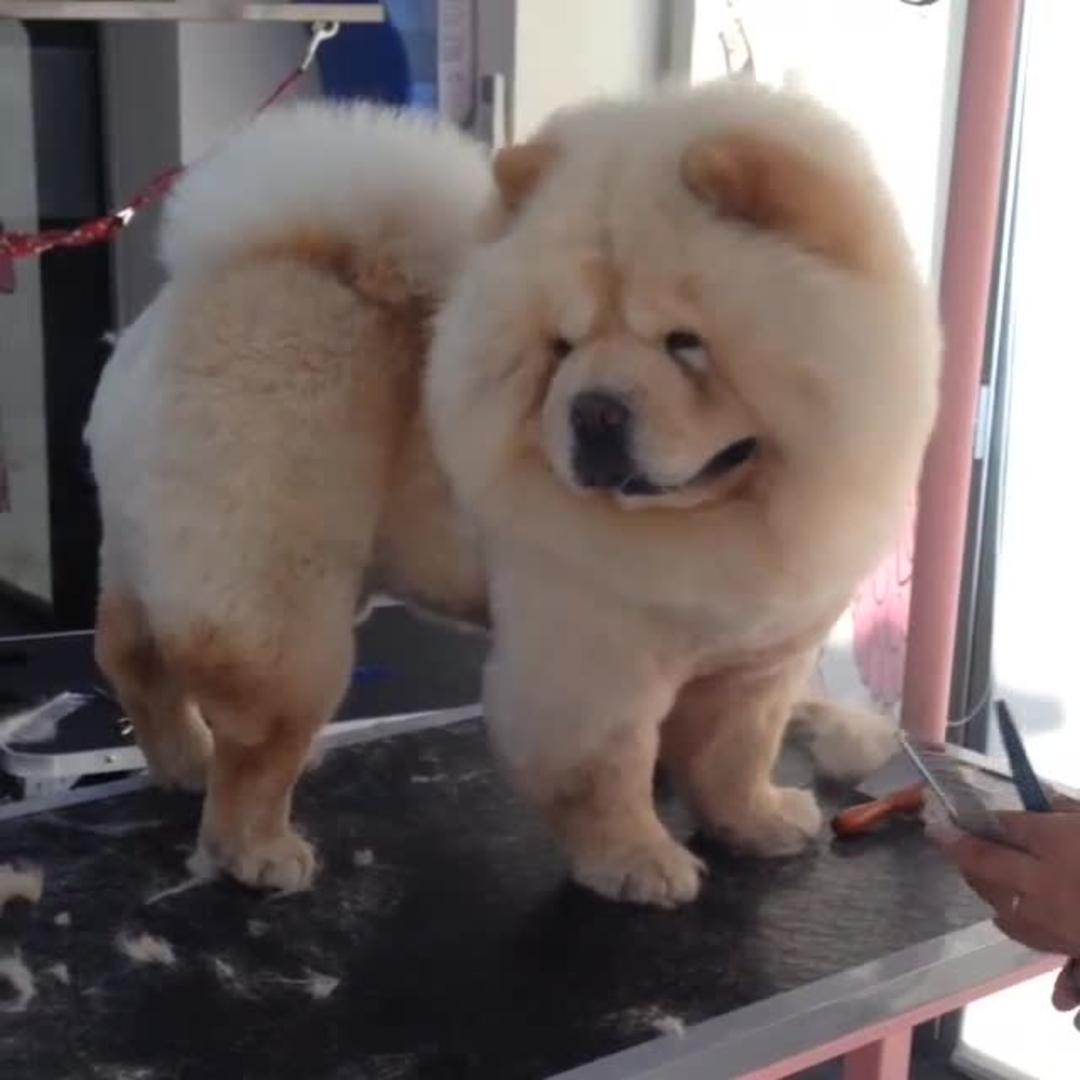 Giant Puff Ball Gets A Haircut Jukin Media
