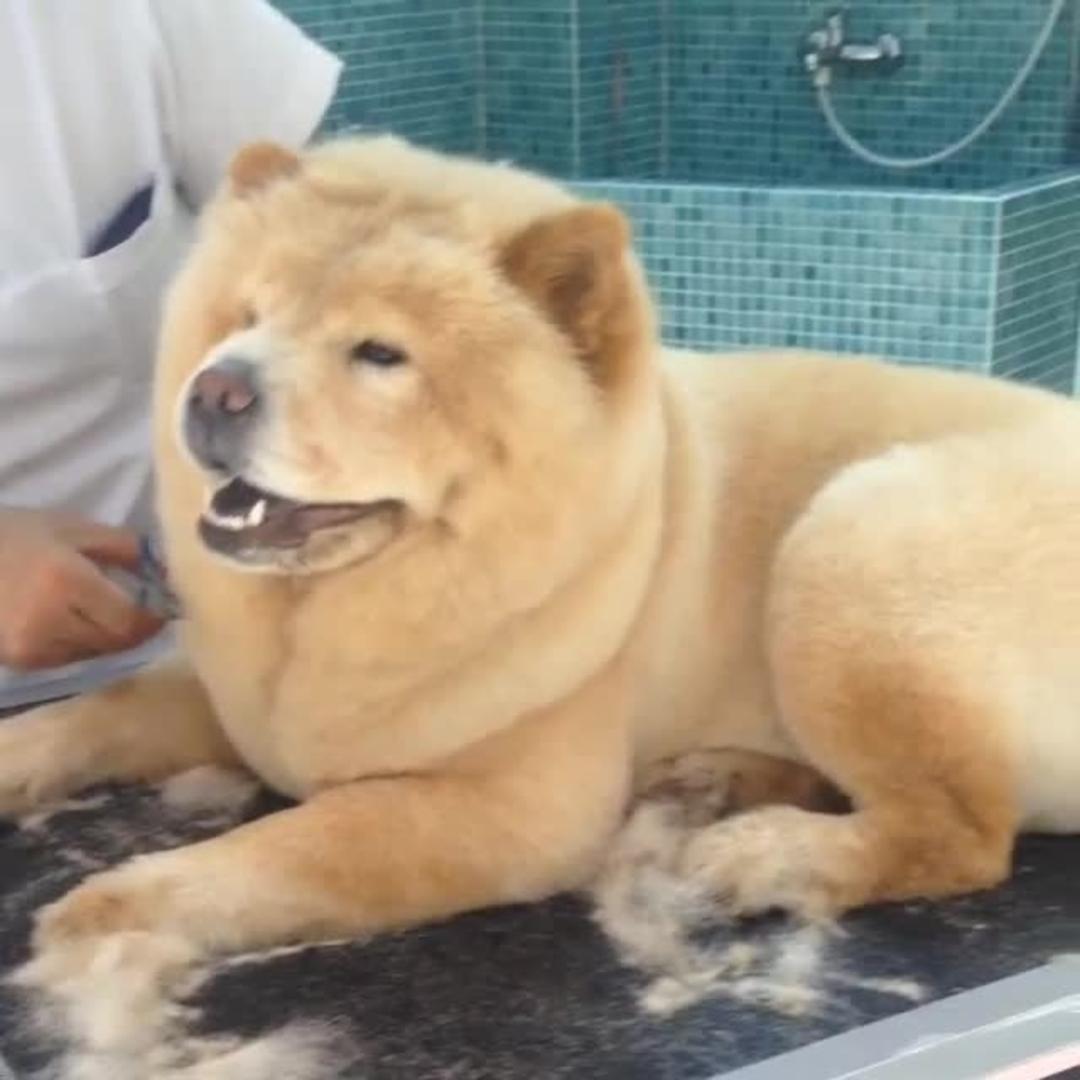 Dog Pants During Haircut Jukin Media