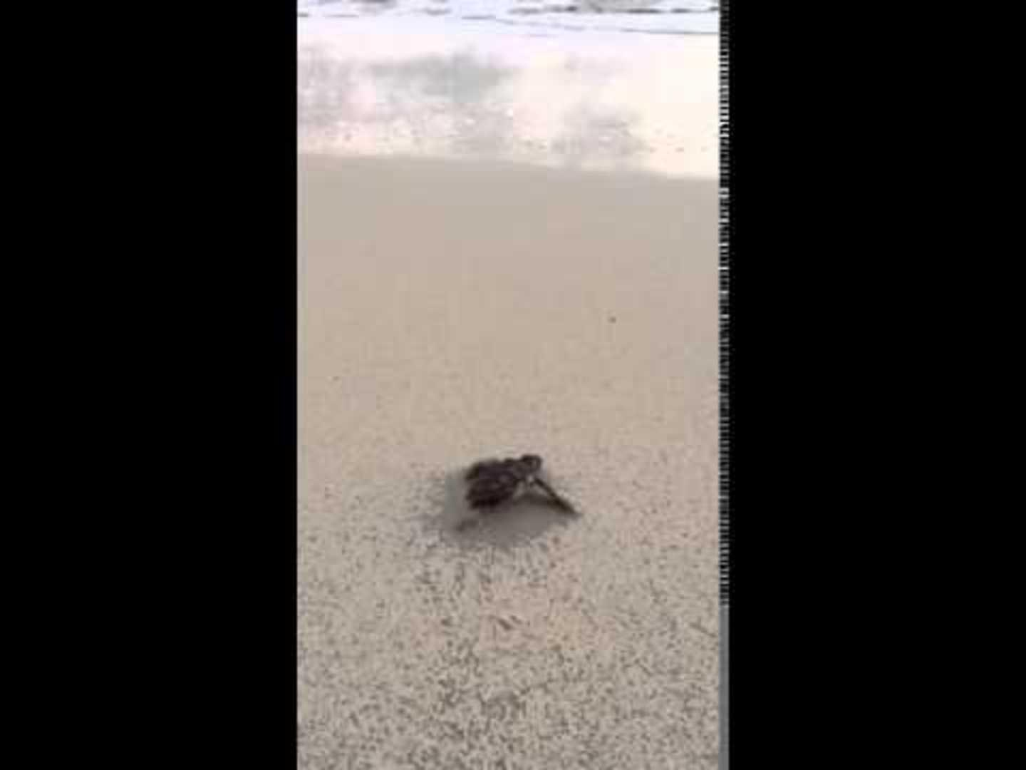 Baby hawksbill sea turtle enters the ocean jukin media baby sea turtle waddles towards waves publicscrutiny Image collections