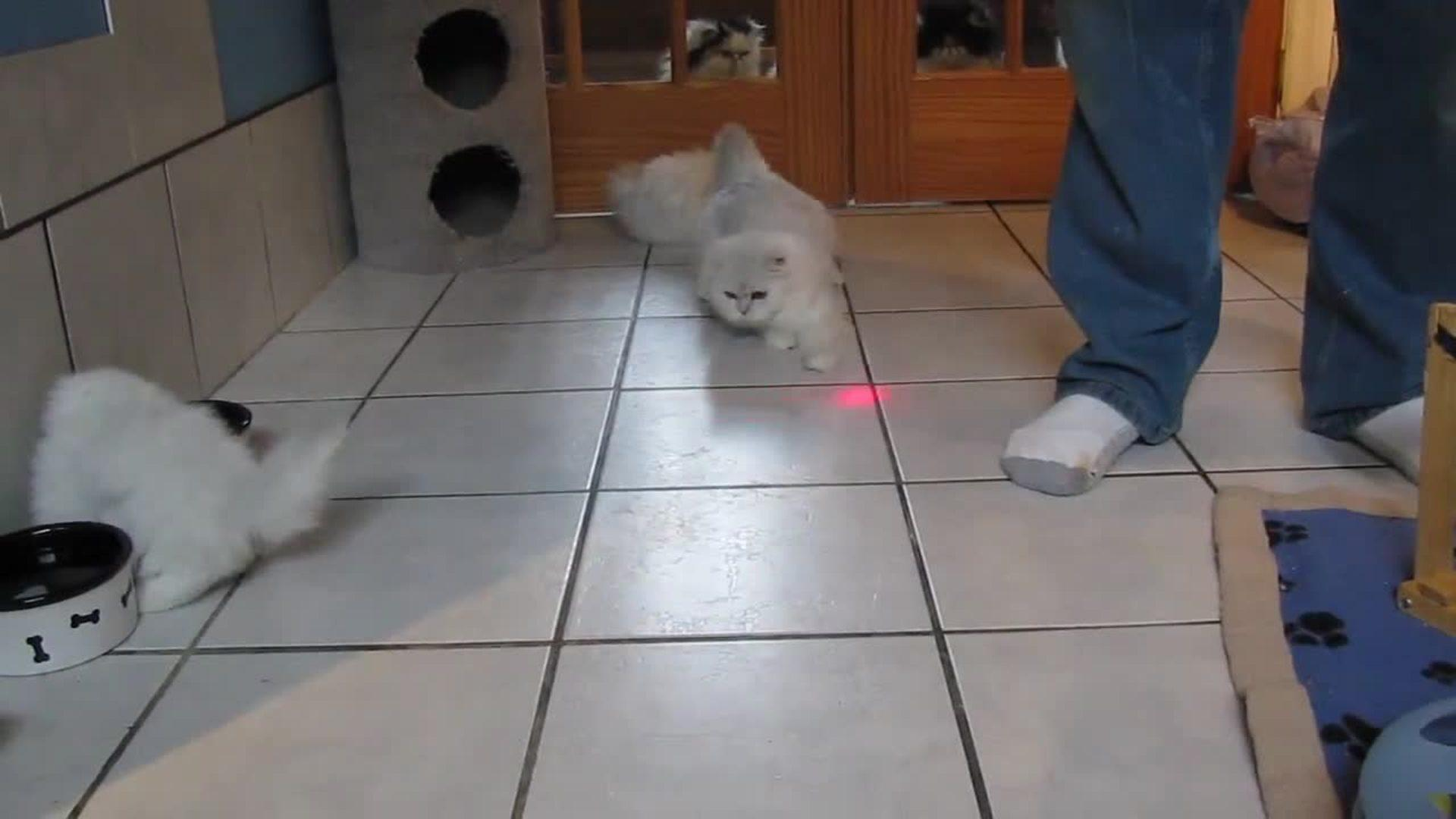 Best laser cat video