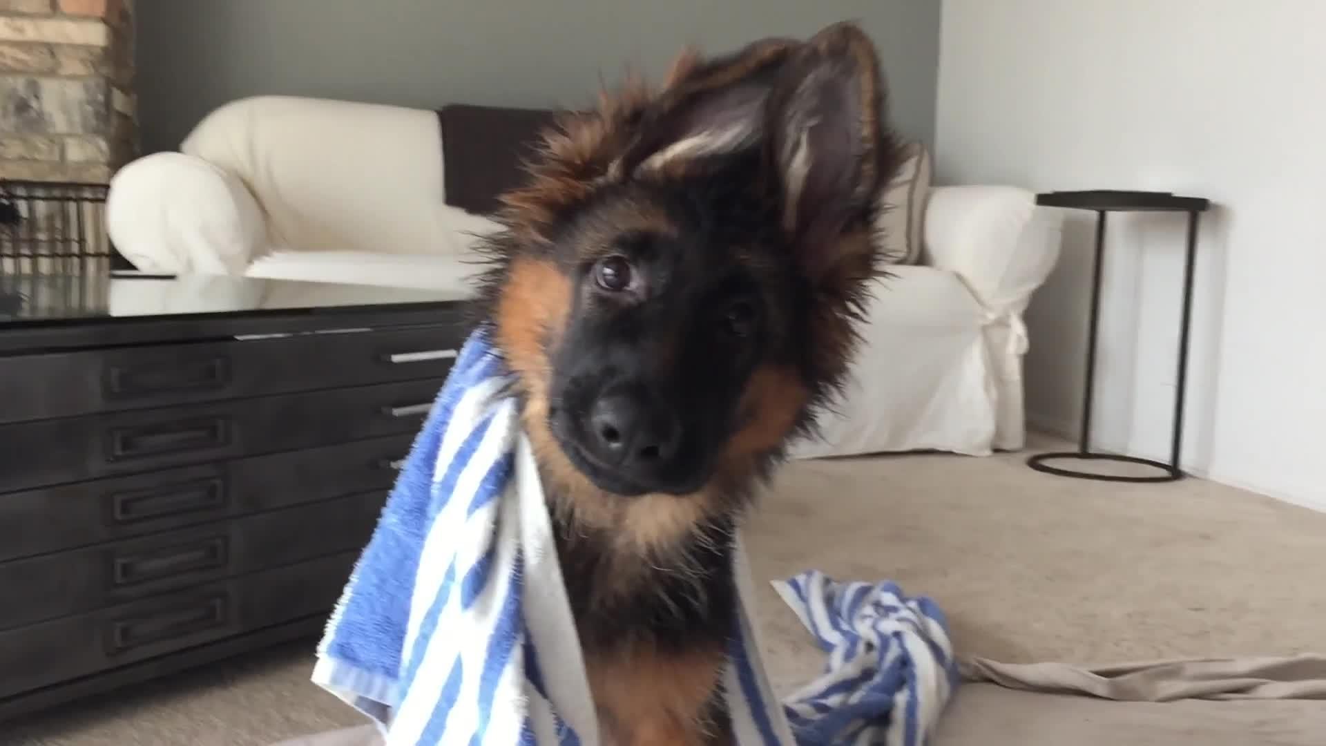 German Shepherd Puppy Tilts Head | Jukin Media Inc