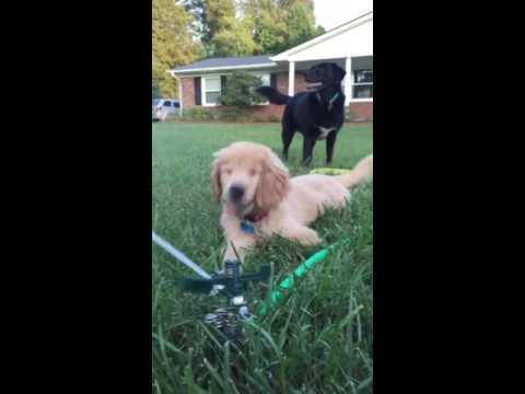 dog excitedly plays with sprinkler jukin media