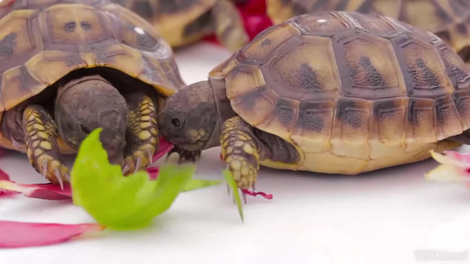 Tortoise Stuck On Back Continues To Eat Flower Jukin Media Inc