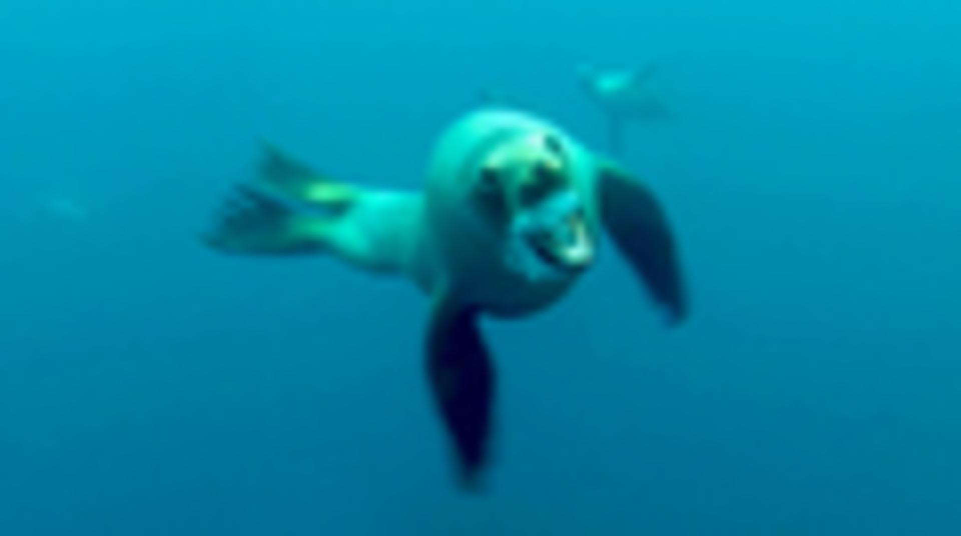 Barracuda Attacks Diver