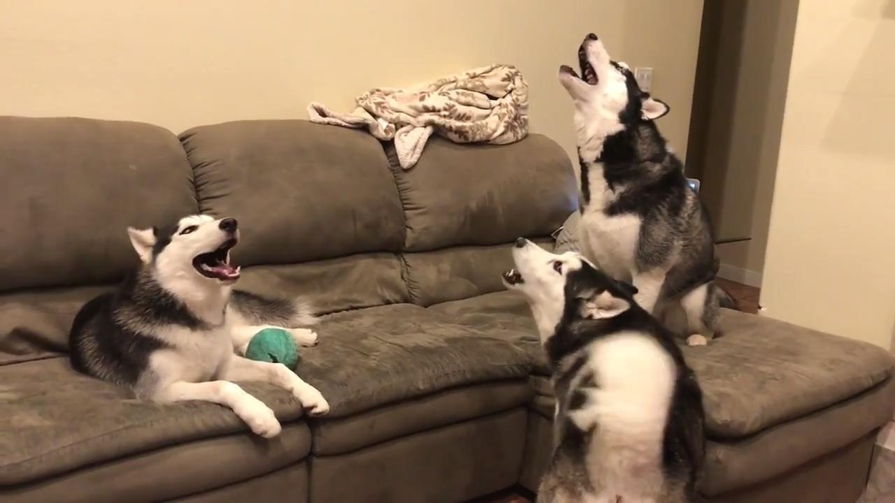 Husky Puppies Howl Together Jukin Media Inc