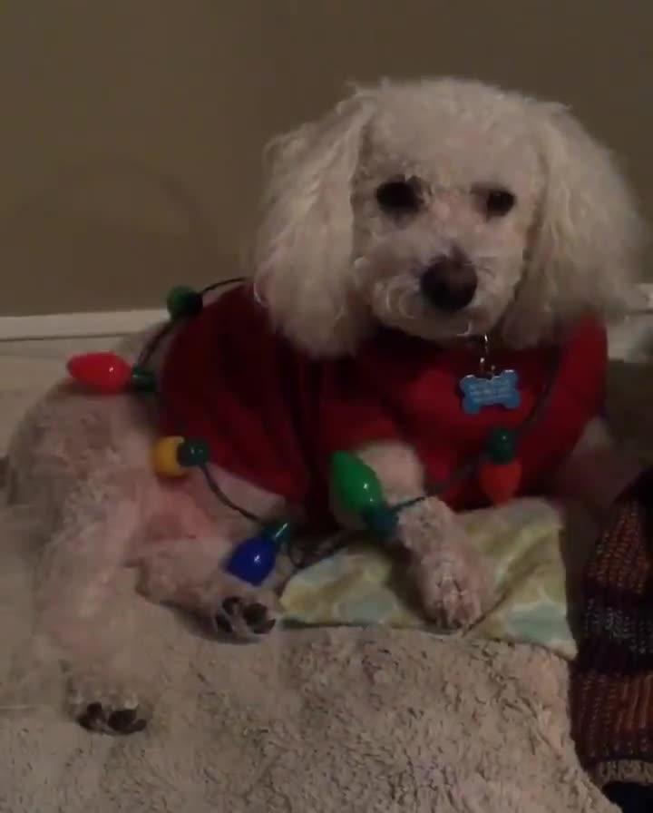dog wears red sweater and blinking christmas lights