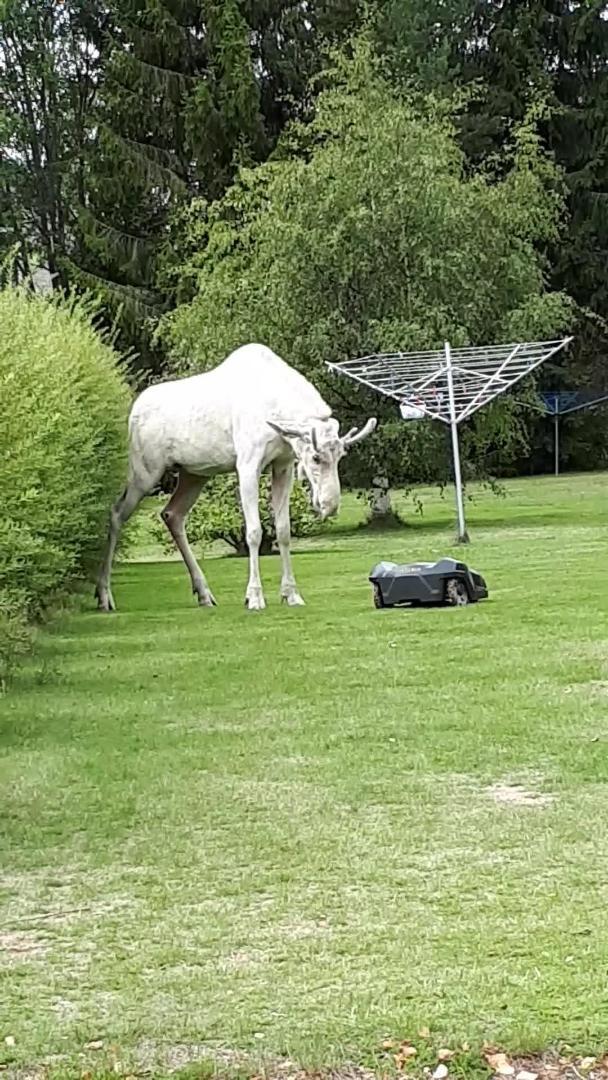 Albino Moose Tackles Lawn Mower Robot | Jukin Media Inc