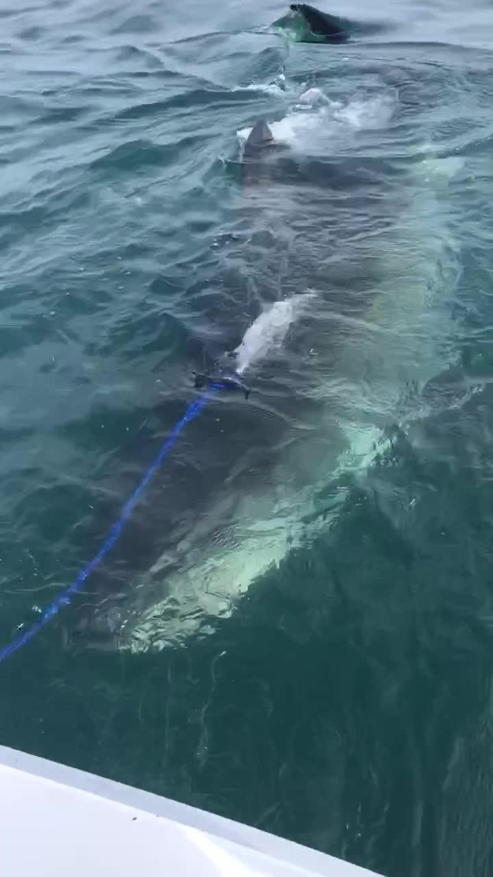 Hungry Great White Shark Eats Fishing Net on Boat | Jukin
